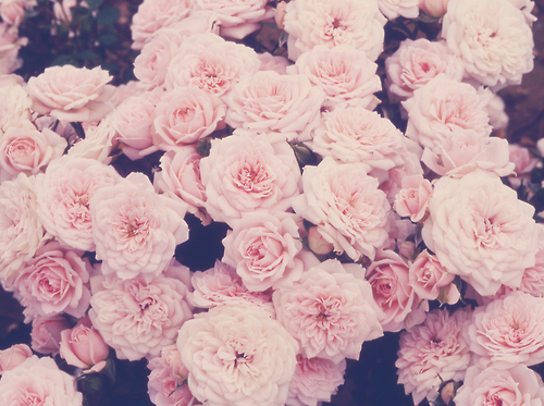 roses background | Tumblr Themes